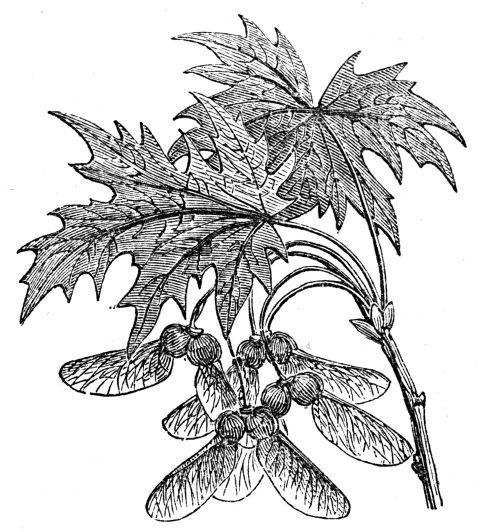 maple leaves and keys
